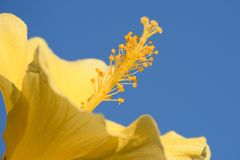 Vibrant Yellow Hibiscus with Blue Sky Background stock photography