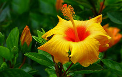 Vibrant yellow hibiscus flower Stock Images