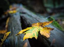 Vibrant yellow leaf laying on a wet, out of focus log Stock Images