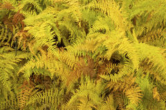 Vibrant yellow leaves of hayscented ferns, fall in northern Main Royalty Free Stock Photos