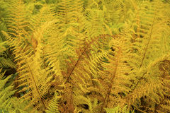 Vibrant yellow leaves of hayscented ferns, fall in northern Main Stock Images
