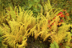 Vibrant yellow leaves of hayscented ferns, fall in northern Main Royalty Free Stock Images