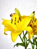Yellow lilium flowers on white wall background. Vibrant yellow lilium fresh flowers closeup on white wall background Royalty Free Stock Photos