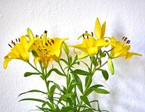 Yellow lilium flowers on white wall background. Vibrant yellow lilium fresh flowers closeup on white wall background Royalty Free Stock Photo
