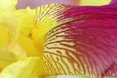 Vibrant yellow magenta iris flower petals Stock Images