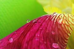 Vibrant yellow magenta iris flower petals closeup Stock Photography