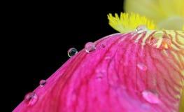 Vibrant yellow magenta iris flower petals closeup with raindrops Royalty Free Stock Photo