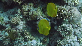 Vibrant yellow Masked Butterflyfish (Chaetodon semilarvatus) with coral reef background stock footage