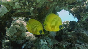 Vibrant yellow Masked Butterflyfish (Chaetodon semilarvatus) with coral reef background stock video