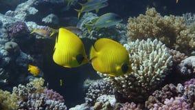 Vibrant yellow Masked Butterflyfish (Chaetodon semilarvatus) stock video