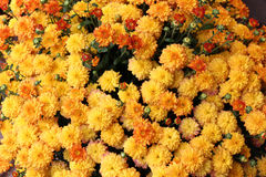 Vibrant yellow mums Royalty Free Stock Image