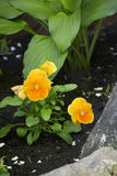 Yellow flowerbed. Vibrant bright yellow orange flowers in a garden flowerbed Stock Photos