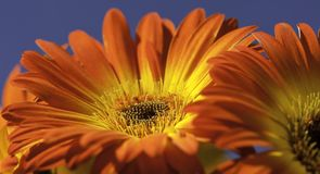Vibrant Yellow and Orange Gerber Daisy Stock Photo