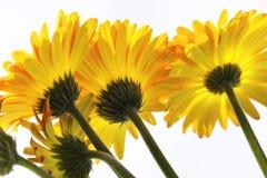 Vibrant Yellow and Orange Gerber Daisy Stock Photo