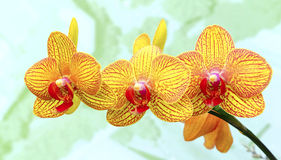 Vibrant yellow orchids. Vibrant and beautiful hybrid yellow orchids  background Stock Photography