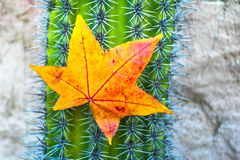 Vibrant yellow and red autumn colored leaf hanging on a cactus spikes stock image