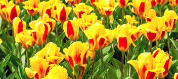 Vibrant yellow and red tulips with water drops,  flowerbed after rain postcard Royalty Free Stock Images