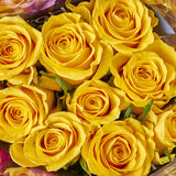 Vibrant yellow rose flowers closeup Royalty Free Stock Images