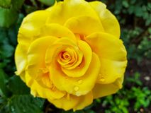 Vibrant yellow rose with waterdrops close up shot. On natural green background stock photography