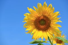 Vibrant Yellow Sunflower Against Vivid Blue Sky with Free Space for Text or Design. Texture Background stock photography