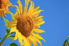 Vibrant Yellow Sunflower Against Vivid Blue Sky with Free Space for Text or Design. Texture Background stock photos