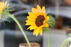 Vibrant yellow sunflower. Bright yellow sunflower behind glass with reflection Royalty Free Stock Photo
