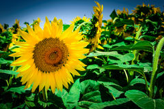 Vibrant yellow sunflower. Close-up of a vibrant yellow sunflower royalty free stock photo