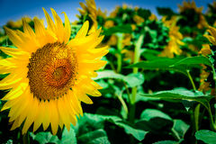 Vibrant yellow sunflower. Close-up of a vibrant yellow sunflower royalty free stock photography