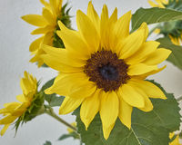 Vibrant yellow sunflower closeup. On white wall background stock photo