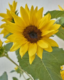 Vibrant yellow sunflower closeup. On white wall background royalty free stock photography