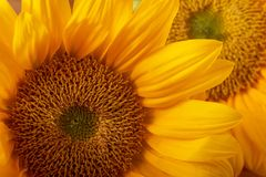 Vibrant yellow sunflowers close-up Macro. royalty free stock images