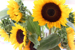Vibrant yellow sunflowers Royalty Free Stock Photography