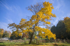Vibrant yellow tree and fall foliage with sky in background, Royalty Free Stock Photography