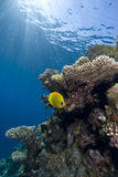 Vibrant yellow tropical fish Stock Photo