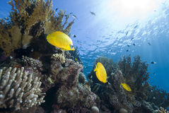 Vibrant yellow tropical fish Stock Images