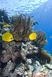 Vibrant yellow tropical fish. Vibrant yellow Masked Butterflyfish (Chaetodon semilarvatus) with coral reef background. Red Sea, Egypt royalty free stock image