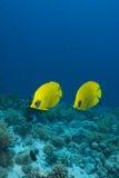 Vibrant yellow tropical fish Stock Photos