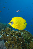 Vibrant yellow tropical fish Royalty Free Stock Images