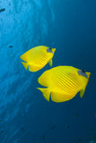 Vibrant yellow tropical fish. Vibrant yellow Masked Butterflyfish (Chaetodon semilarvatus) with blue background background. Red Sea, Egypt Stock Photos