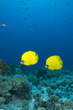 Vibrant yellow tropical fish. Vibrant yellow Masked Butterflyfish (Chaetodon semilarvatus) with coral reef background. Red Sea, Egypt Stock Photos