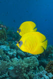 Vibrant yellow tropical fish. Vibrant yellow Masked Butterflyfish (Chaetodon semilarvatus) with coral reef background. Red Sea, Egypt stock images