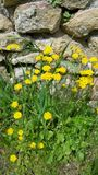 Vibrant yellow wild flowers Royalty Free Stock Images
