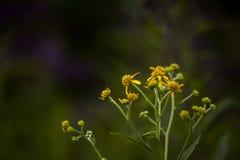 Vibrant Yellow Wildflowers - Big Bone Lick State Park - Kentucky. Vibrant yellow wildflowers in the morning dew at Big Bone Lick State Park in Kentucky Stock Photo