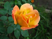 A vibrant yellowish orange rose in a garden royalty free stock photography