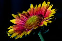 Vibrantly colored coneflower Stock Images
