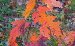 Vibrant Autumn Leaves Royalty Free Stock Images