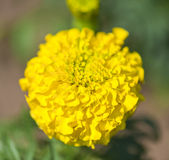 Vibrantly colored yellow marigold Stock Photography