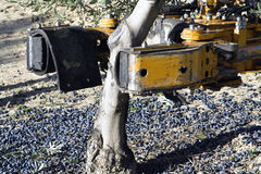Vibrating machine in an olive tree Royalty Free Stock Photos