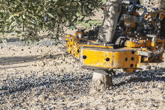 Vibrating machine in an olive tree. Olive compilation of mechanical form during the winter in January, take in Jaen, Spain Stock Images