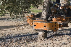 Vibrating machine in an olive tree Stock Photography